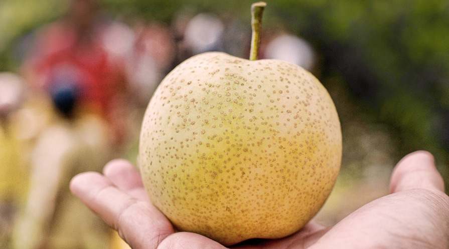 hand holding an asian pear