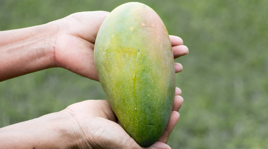 hand holding a mango