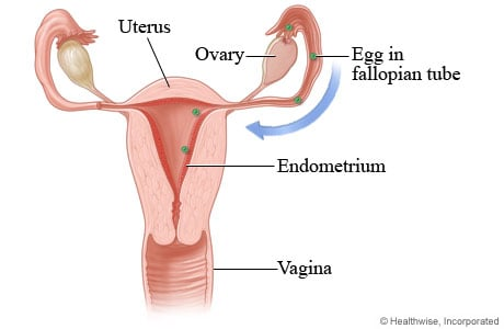 Picture of ovulation and of how the egg gets to the uterus