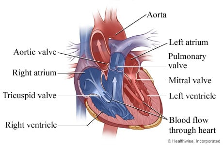 Health wellness kaiser permanente picture of heart anatomy chambers and valves publicscrutiny Choice Image