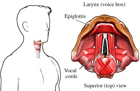 Larynx (voice box)